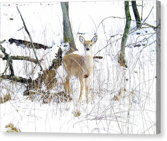 Young Doe And Spring Snow Canvas Print