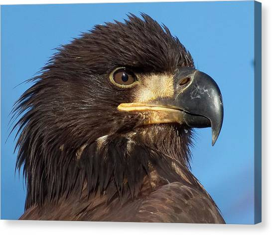 Young Eagle Head Canvas Print