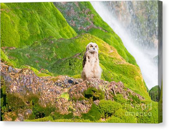 Young Eagle Owl Canvas Print by Bryan Attewell