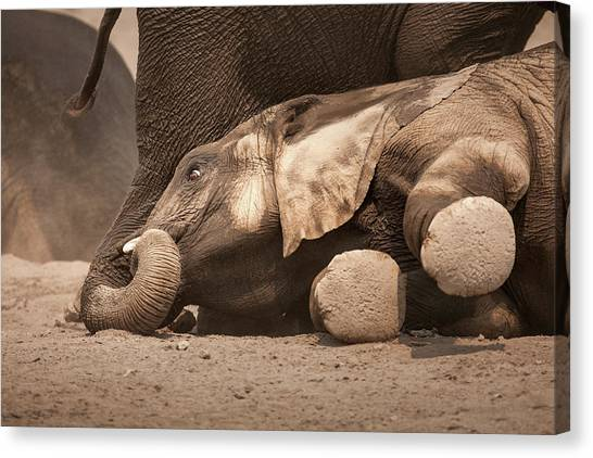 Feet Canvas Print - Young Elephant Lying Down by Johan Swanepoel