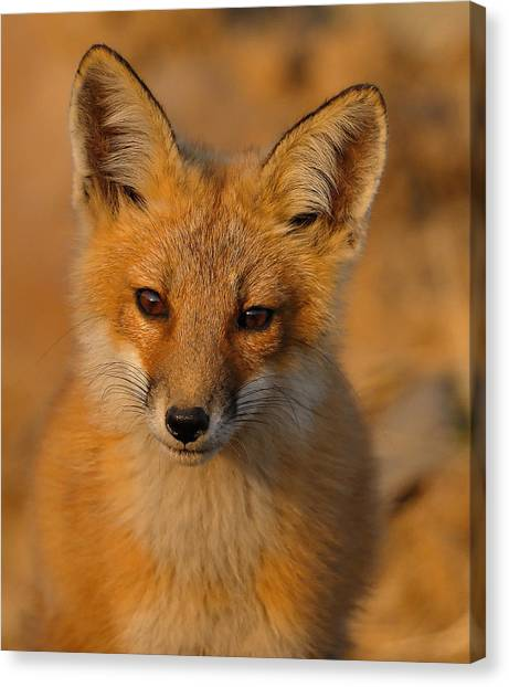 Young Fox Canvas Print