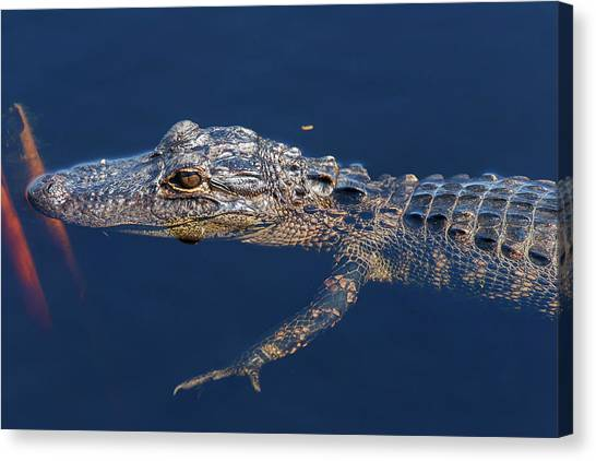 Young Gator 1 Canvas Print