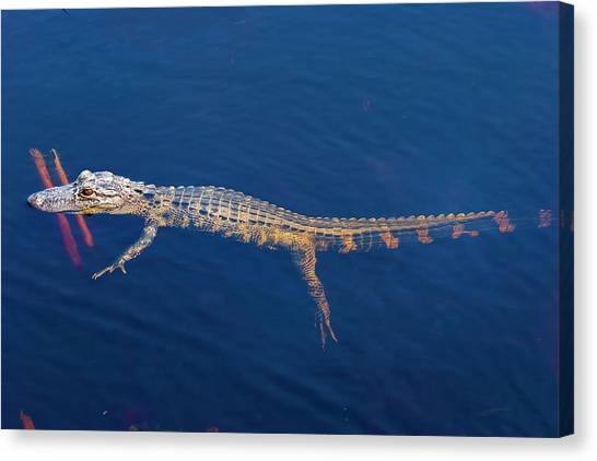 Young Gator 2 Canvas Print