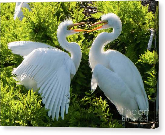 Young Great Egrets Playing Canvas Print