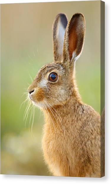 Young Hare Portrait Canvas Print