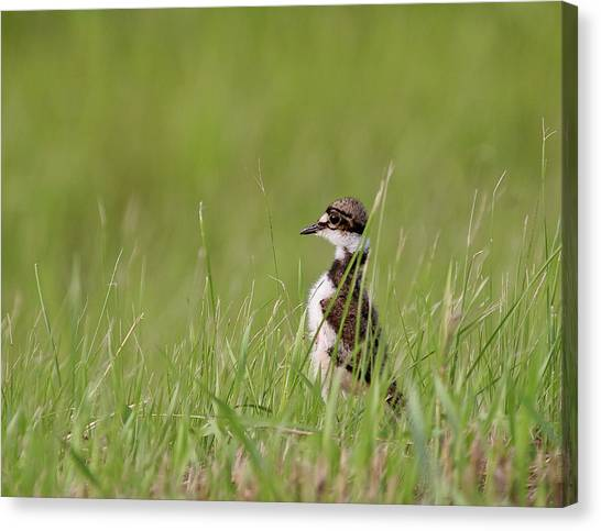 Killdeer Canvas Print - Young Killdeer In Grass by Mark Duffy