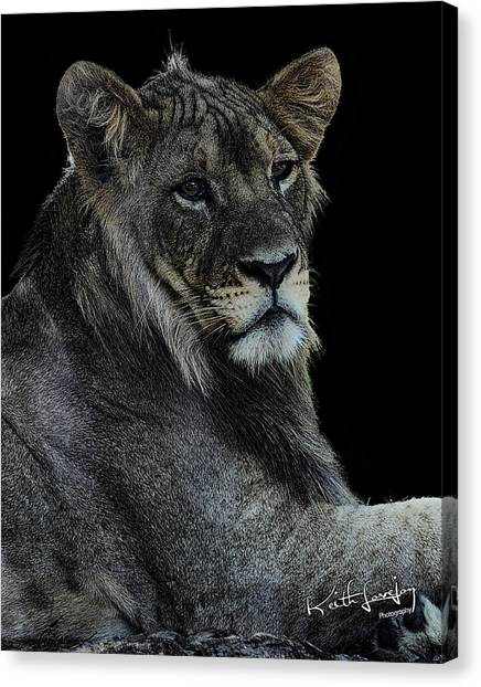 Young Lion Canvas Print by Keith Lovejoy