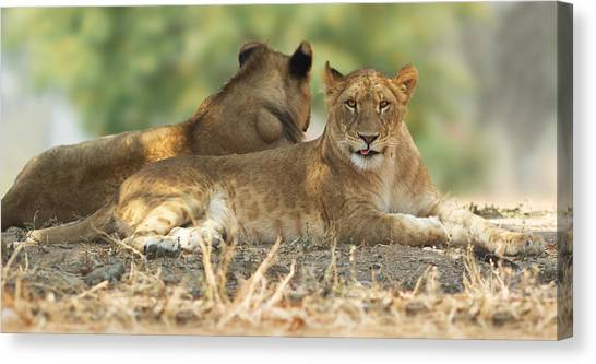Young Lioness Canvas Print by Yuri Peress