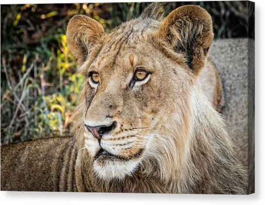 Canvas Print featuring the photograph Young  Male Lion by Stefan Nielsen