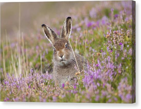 Young Mountain Hare In Purple Heather Canvas Print