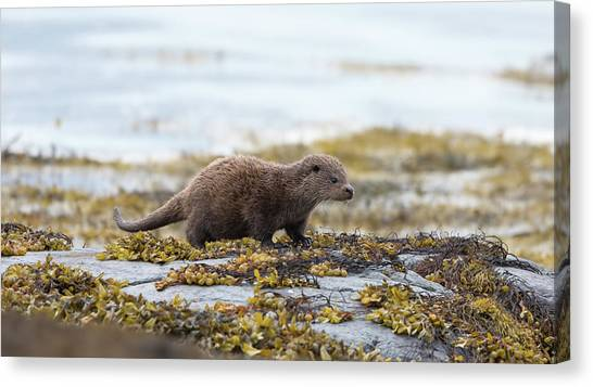 Young Otter Canvas Print