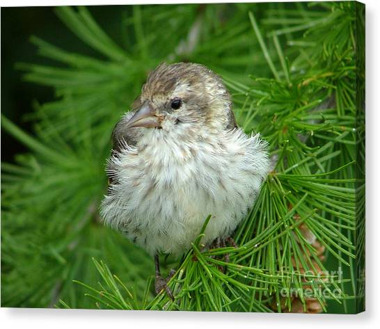 Young Pine Siskin Canvas Print