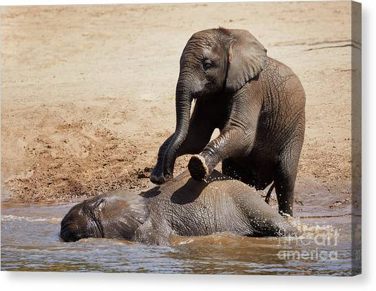Canvas Print featuring the photograph Young Playful African Elephants by Nick Biemans