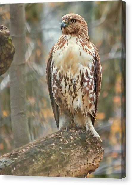 Young Red Tailed Hawk  Canvas Print