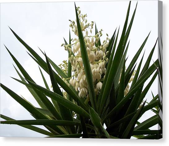 Canvas Print - Yucca Flowers by Evelyn Patrick