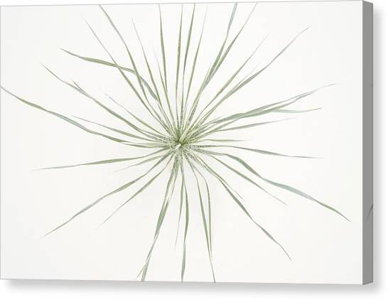 Yucca Whorl - White Sands National Monument Canvas Print
