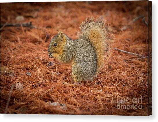 Yum Yum Nuts Wildlife Photography By Kaylyn Franks     Canvas Print