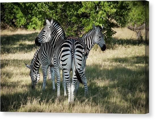 Three Zebras Canvas Print