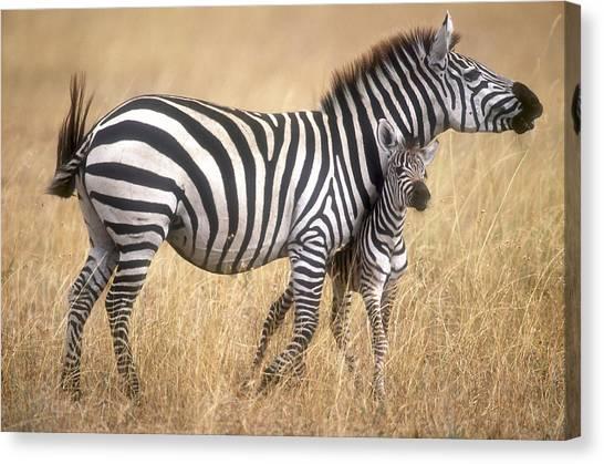 Zebra And Foal Canvas Print by Johan Elzenga