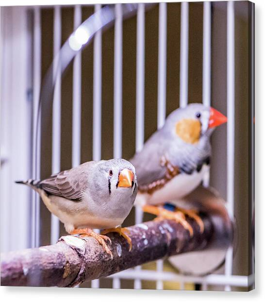 Zebra Finch Pair Canvas Print