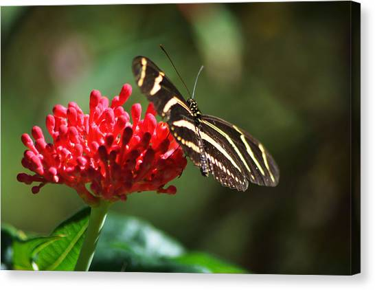 Zebra Heliconia Butterfly Canvas Print
