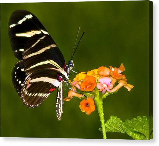 Zebra Heliconian On Milkweed Flower Canvas Print by Don Durfee
