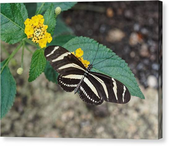 Canvas Print featuring the photograph Zebra Longwing Butterfly - 1 by Paul Gulliver