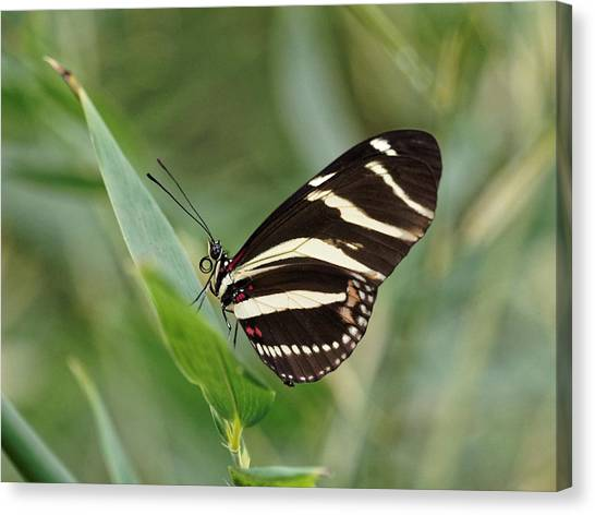 Canvas Print featuring the photograph Zebra Longwing Butterfly - 2 by Paul Gulliver