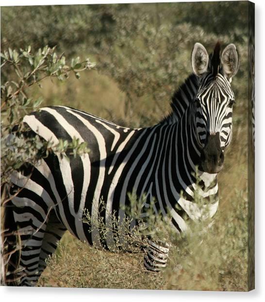 Zebra Portrait Canvas Print