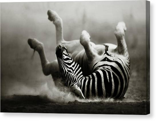 White Sand Canvas Print - Zebra Rolling by Johan Swanepoel