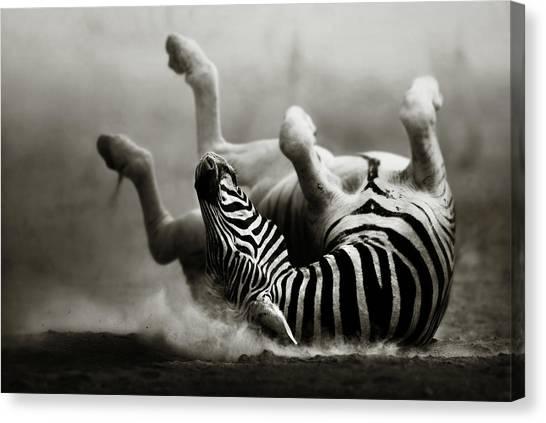 Feet Canvas Print - Zebra Rolling by Johan Swanepoel