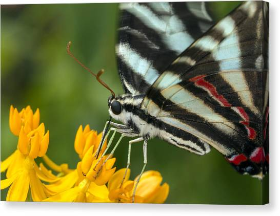 Zebra Swallowtail Drinking On The Fly Canvas Print