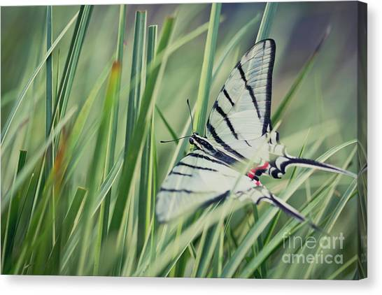 Zebra Swallowtail Canvas Print