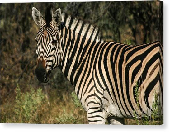 Zebra Watching Canvas Print