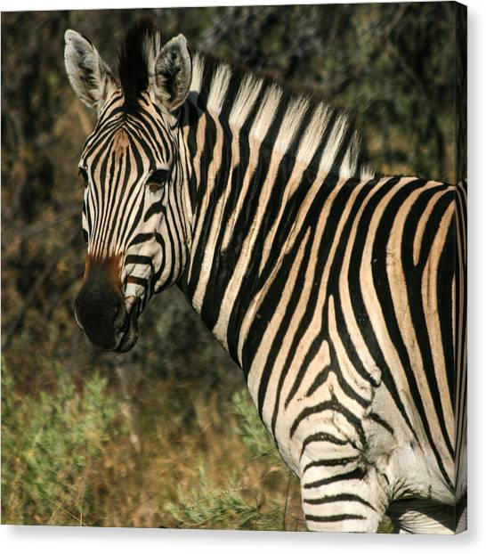 Zebra Watching Sq Canvas Print