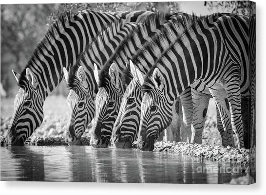 Zebras Canvas Print - Zebras Drinking by Inge Johnsson