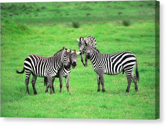 Fun Canvas Print - Zebras by Sebastian Musial