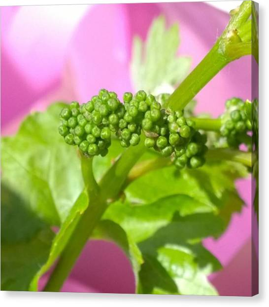Vineyard Canvas Print - #zinfandel #wine #grapes Baby Buds by Shari Warren