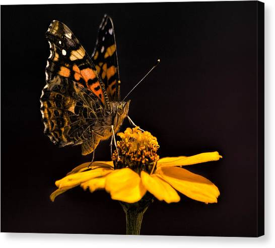 Zinnia Sipping Canvas Print