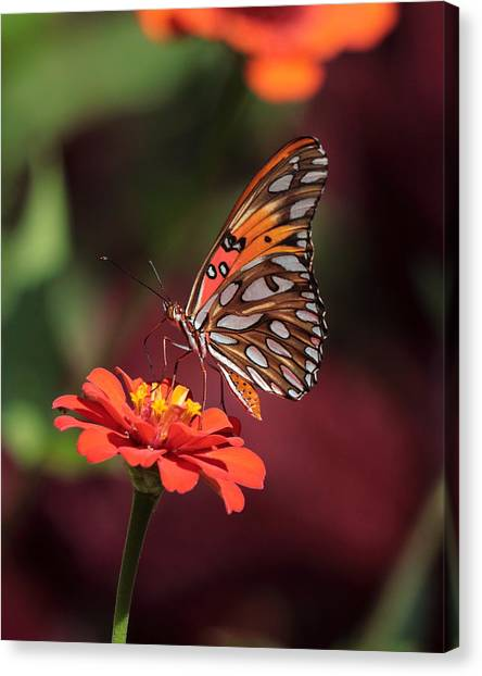 Zinnia With Butterfly 2668 Canvas Print
