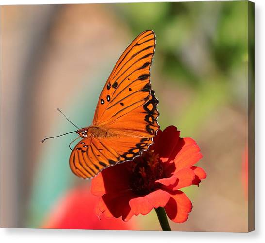 Zinnia With Butterfly 2669 Canvas Print