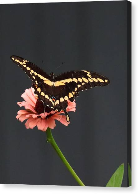 Zinnia With Butterfly 2708  Canvas Print
