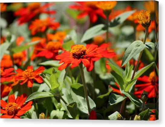 Zinnias In Autumn Colors Canvas Print