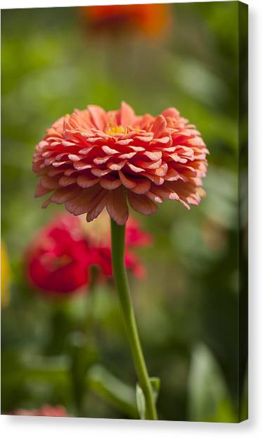 Zinnia Portrait Canvas Print