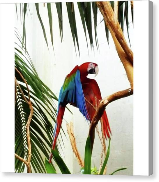 Macaws Canvas Print - #zooday #sfzoo #macaw by Jennifer D