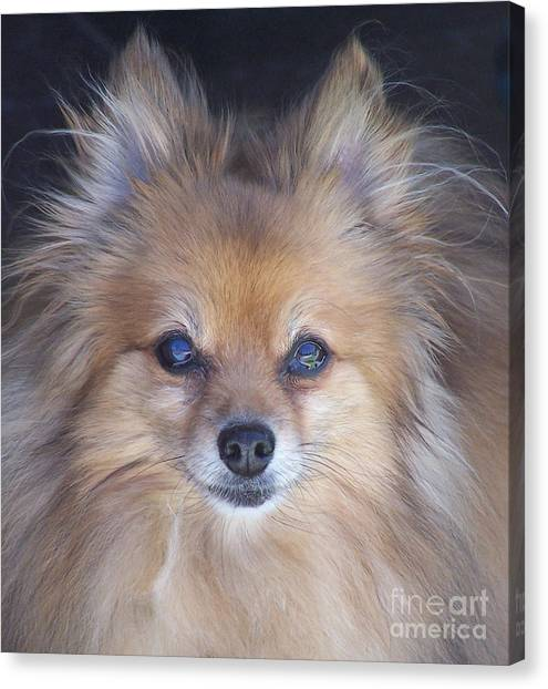 Pomeranians Canvas Print - Zoom by Brian  Commerford