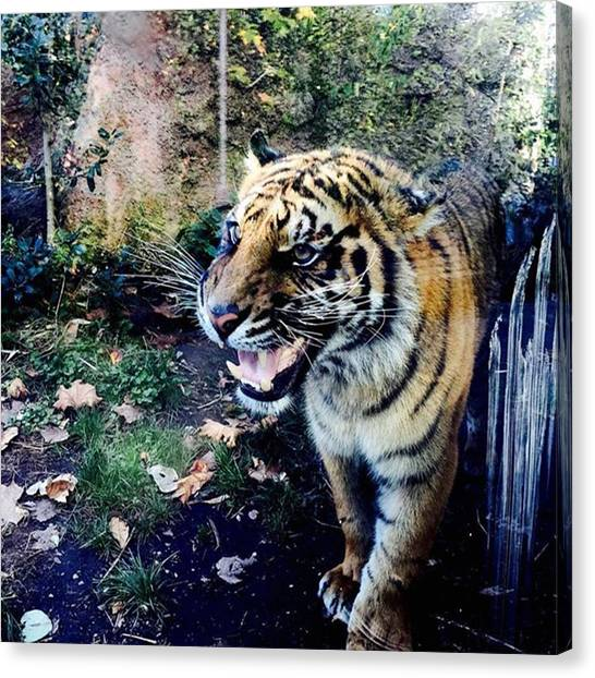Ponds Canvas Print - Tiger  by Cristina Brandi