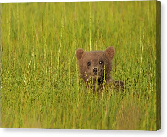 A Brown Bear Cub In The Long Grass In Canvas Print by Mint Images - Art Wolfe
