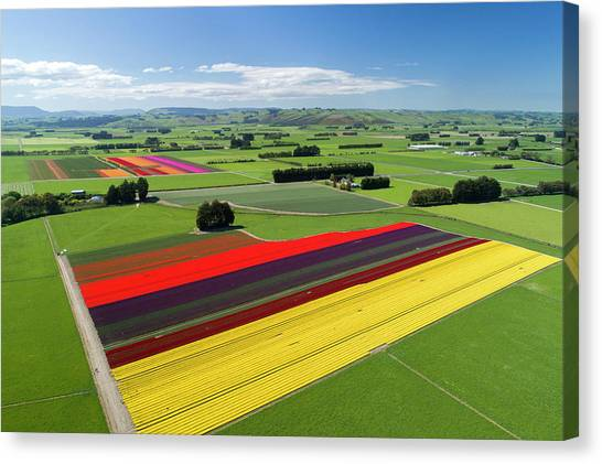 Aerial Of Colorful Tulip Fields Canvas Print by David Wall