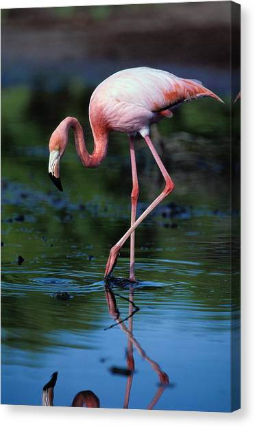 American Flamingo Phoenicopterus Ruber Canvas Print by Art Wolfe